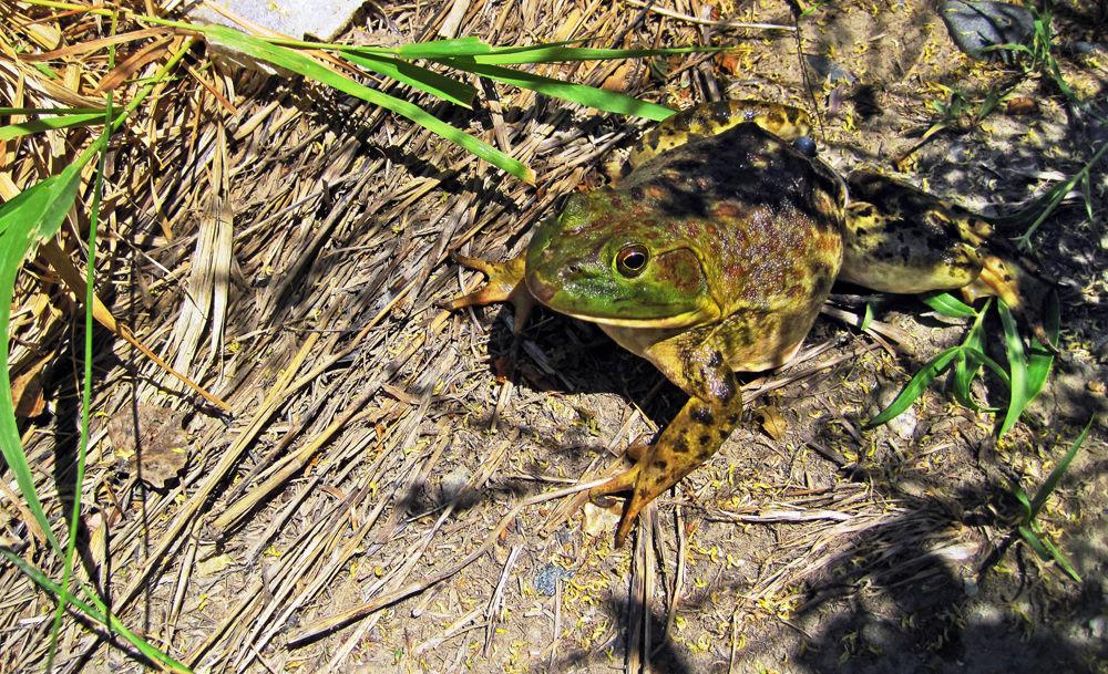 100514 Bullfrog Invasion Montana Yellowstone River