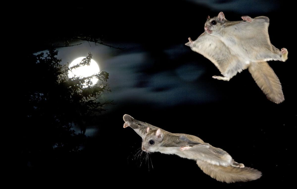 030517 flying squirrels1.jpg