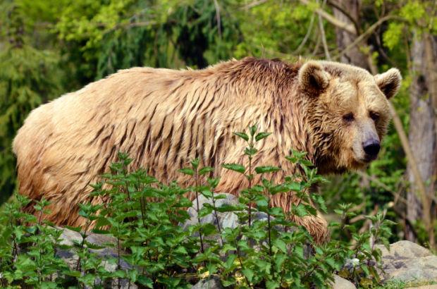 grizzly bear stockimage