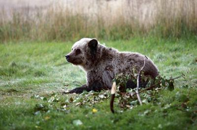 Old Grizzly Hunting Rule Still On The Books In Montana Local