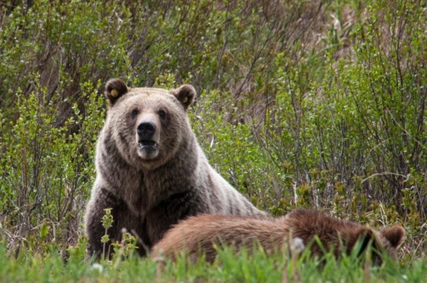 3 Grizzly Bears Found Dead East Of Flathead Lake State Regional