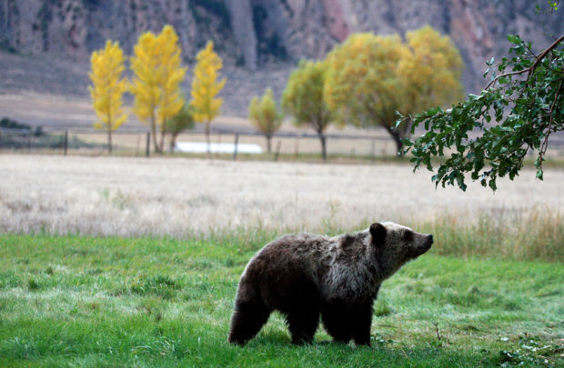 Alaska hunter kills record grizzly bear, Boone and Crockett