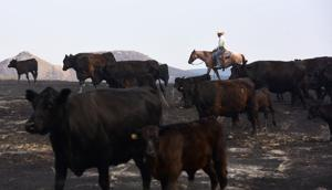 Montana drought drives cattle to market early