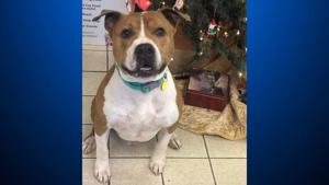Stolen pit bull to make cross-country trip home from West Virginia to Butte