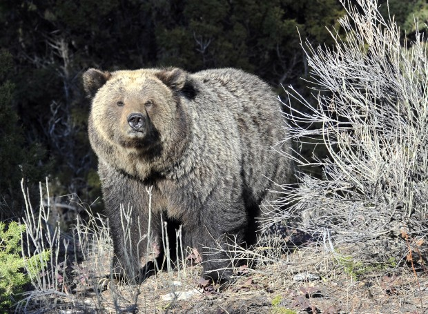 Grizzly bear populations