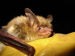 Disease deadly to bats detected in 6 eastern Montana counties