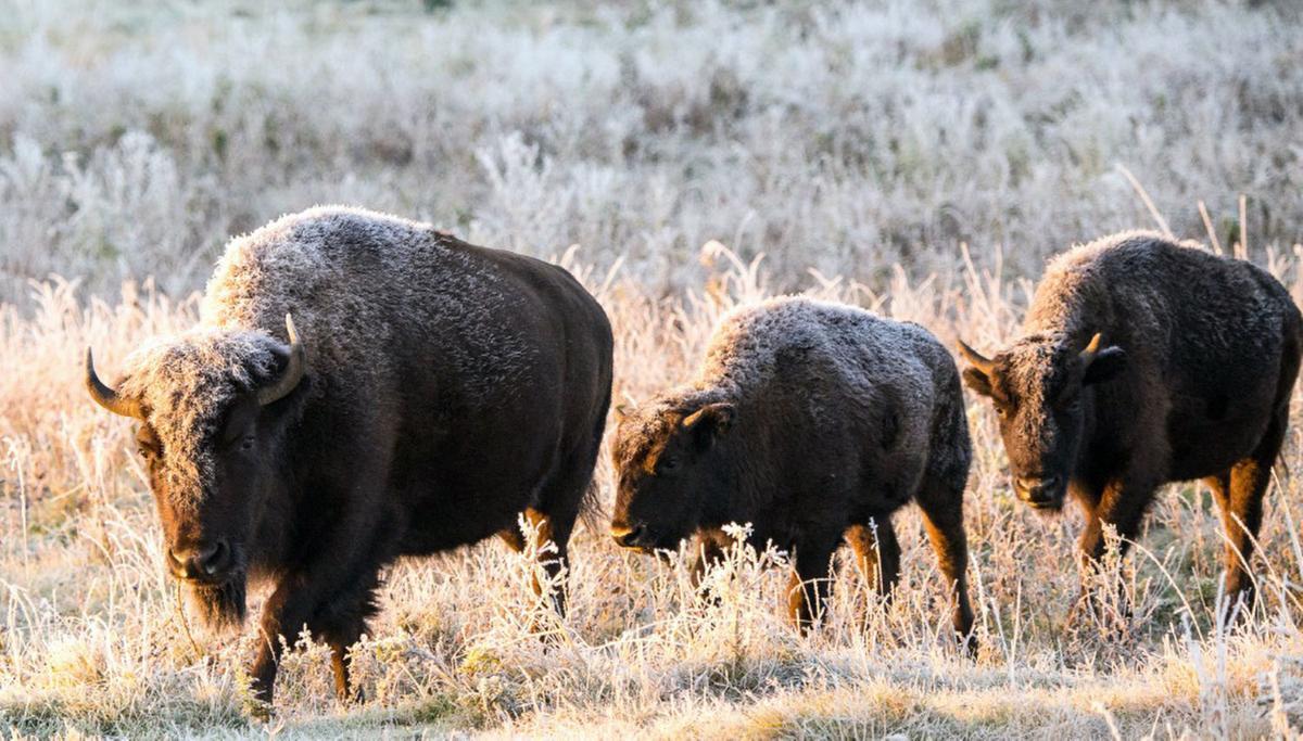 Alberta bison