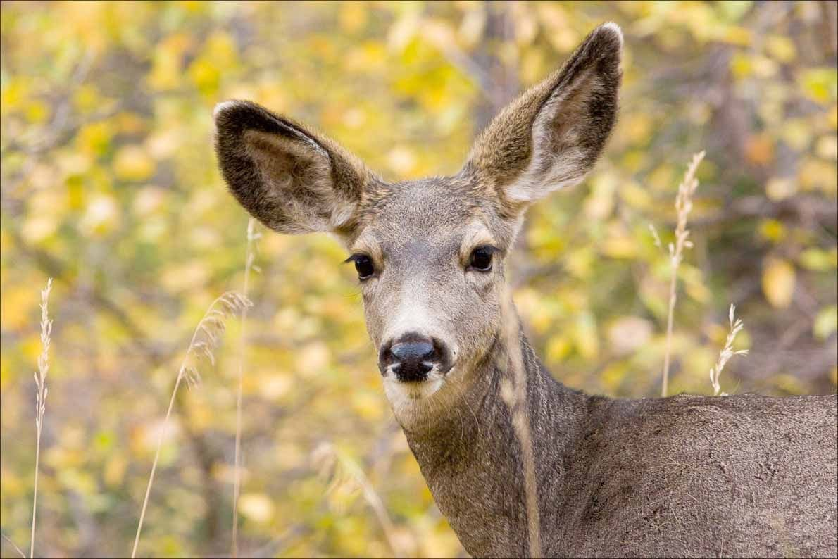 mule deer stockimage