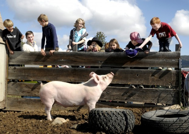 George Andersen attracts the attention of a pig