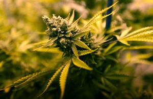 Montana will defer to Billings' prohibition of medical marijuana dispensaries, agency confirms