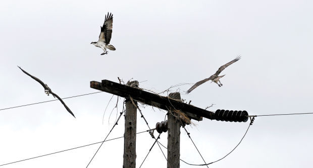 041213 osprey