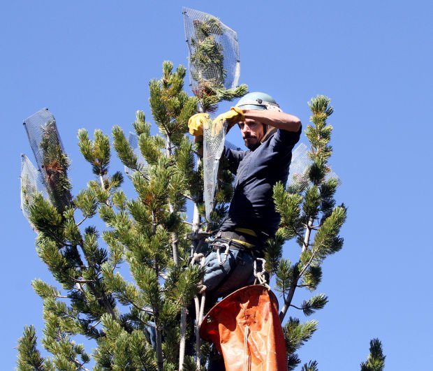 Gabe Thorne climbs to the very top of whitebark pine