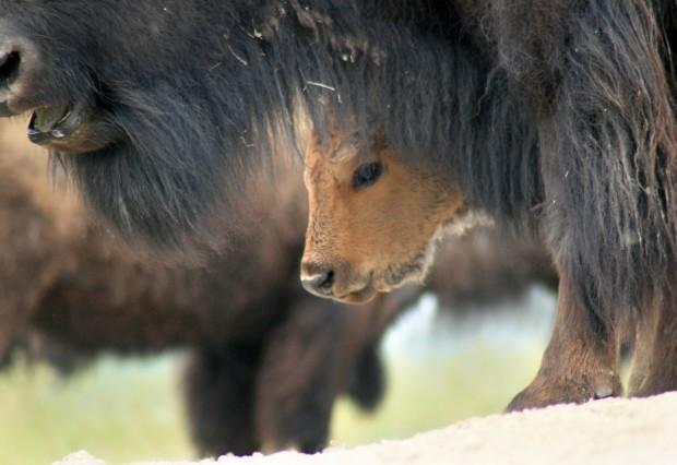 Bison calf at National Bison Range