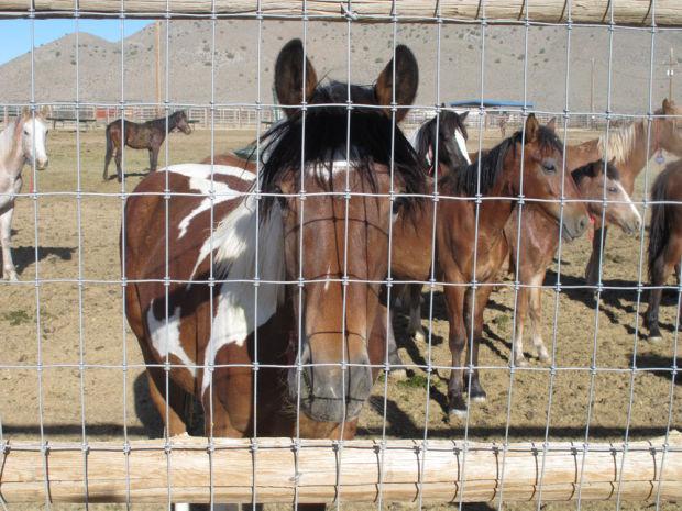 062413 Wild Horses mustangs BLM near Reno