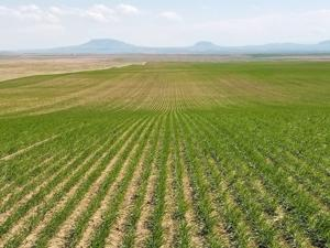 MSU researchers see troubling soil acidity levels in Montana agricultural lands