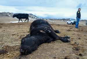 Authorities discover starving cow herd in central Montana