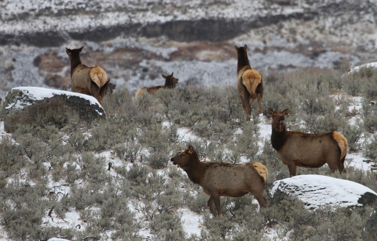 Cow elk