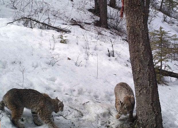 A pair of bobcats