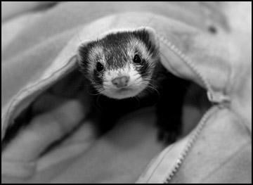 High-maintenance ferrets worth the trouble