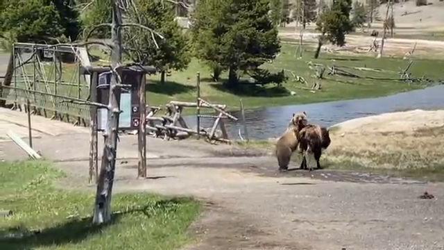 Bear vs. Bison