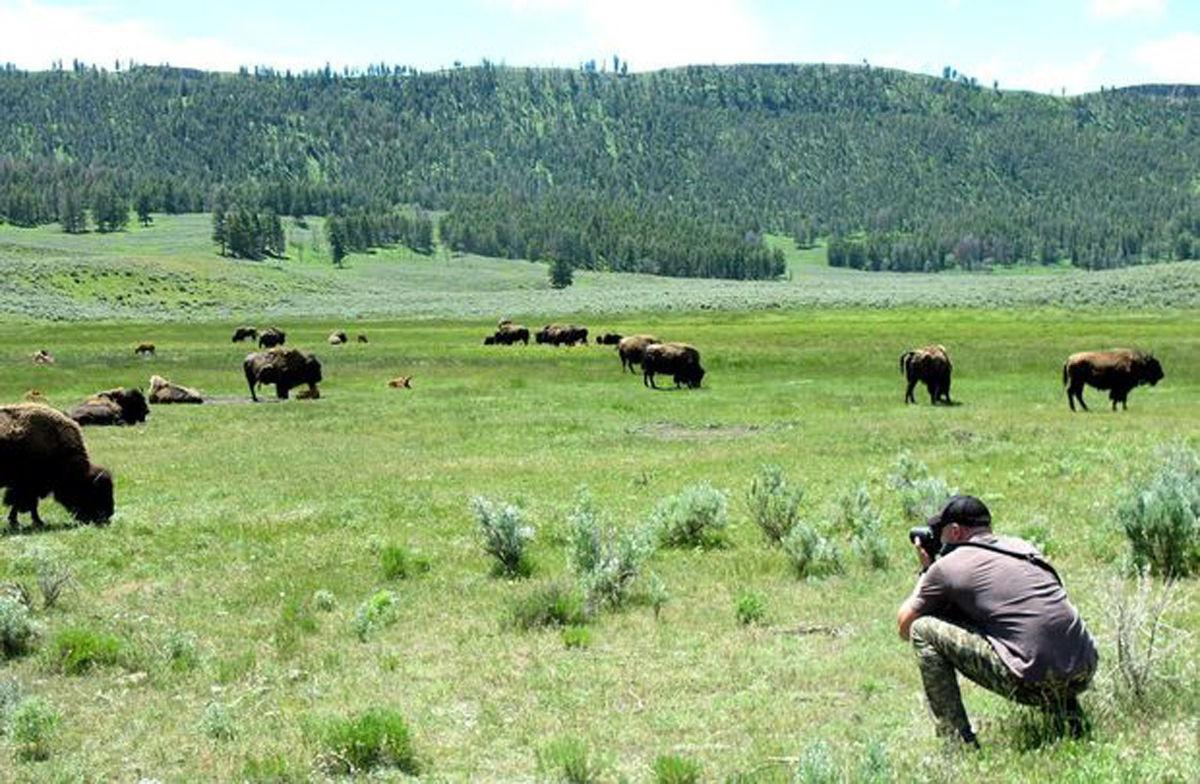 Photographing bison