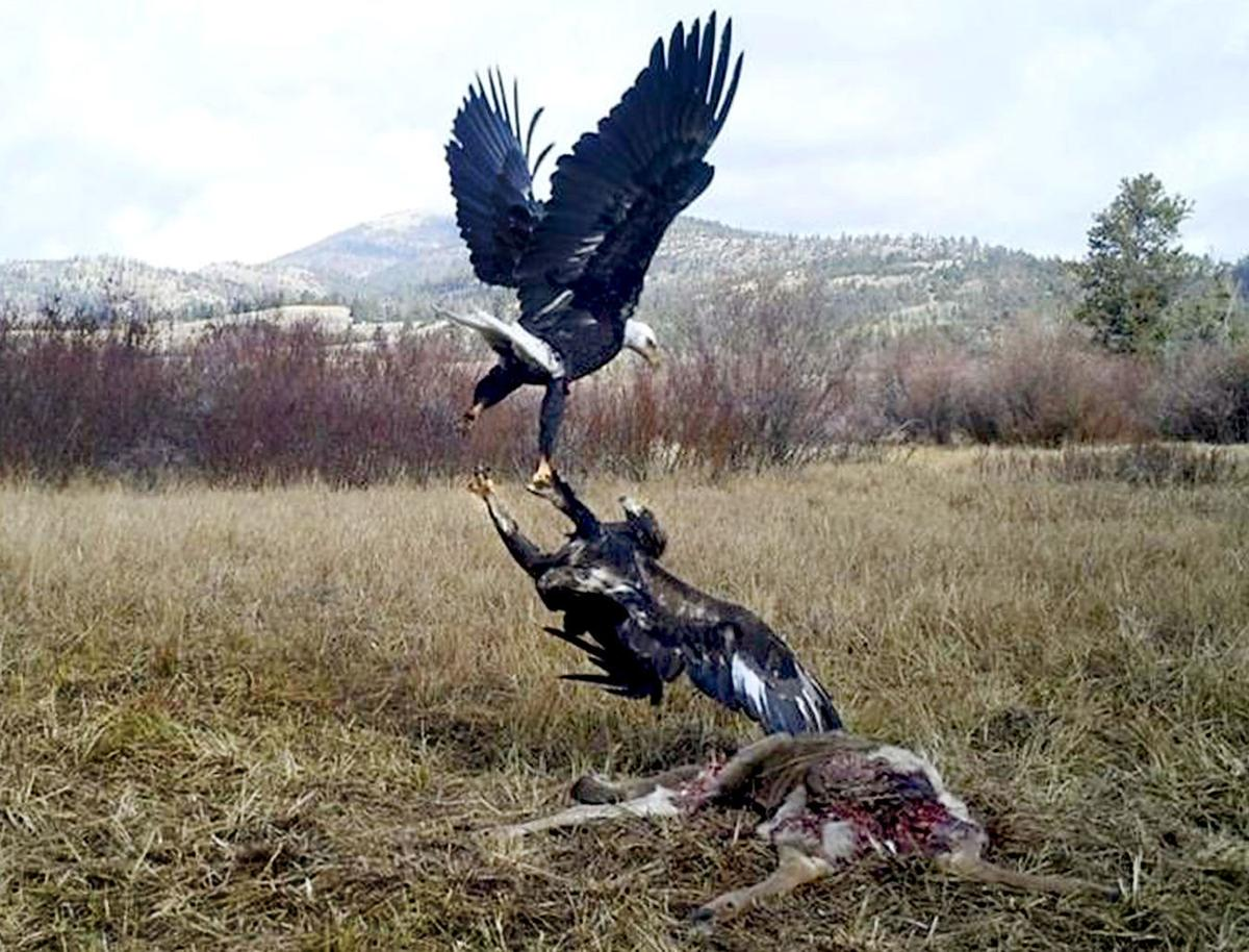 Cameras Trap Wild Bird Activity In Montana Without Trauma Local Eagle Wing Diagram Of Bald 040716 Eagles Fight Handout