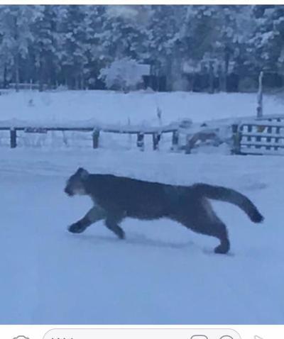 Florence Mountain Lion