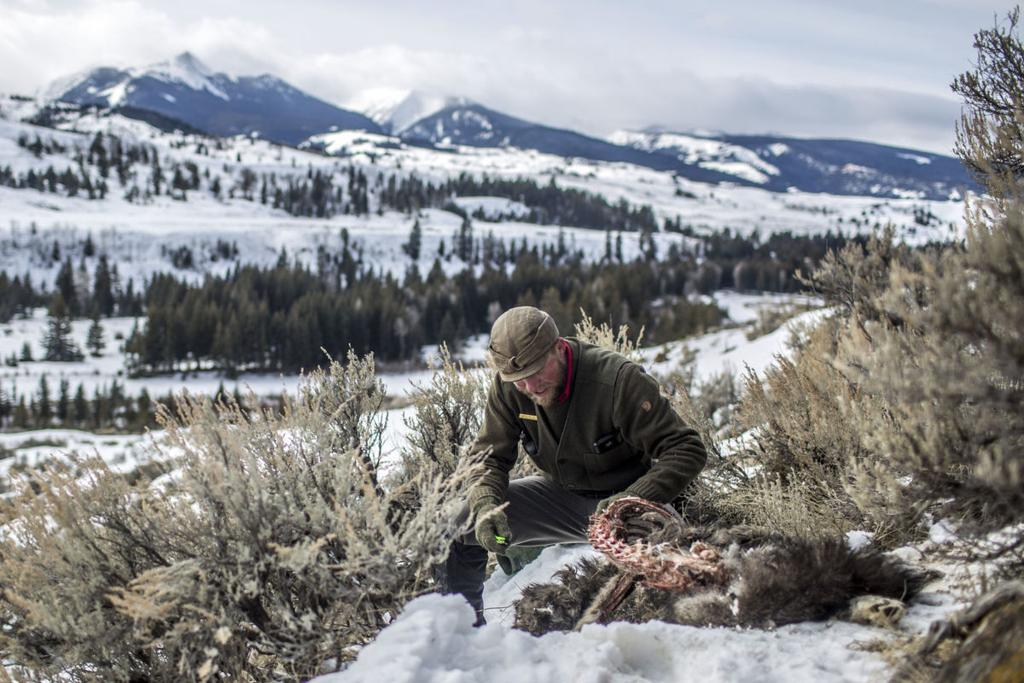 Wyoming wolf packs fight for territory as elk herds move