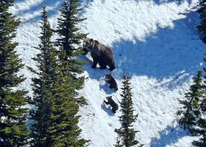 Grizzly delisting beset by legal questions, tourist pressure