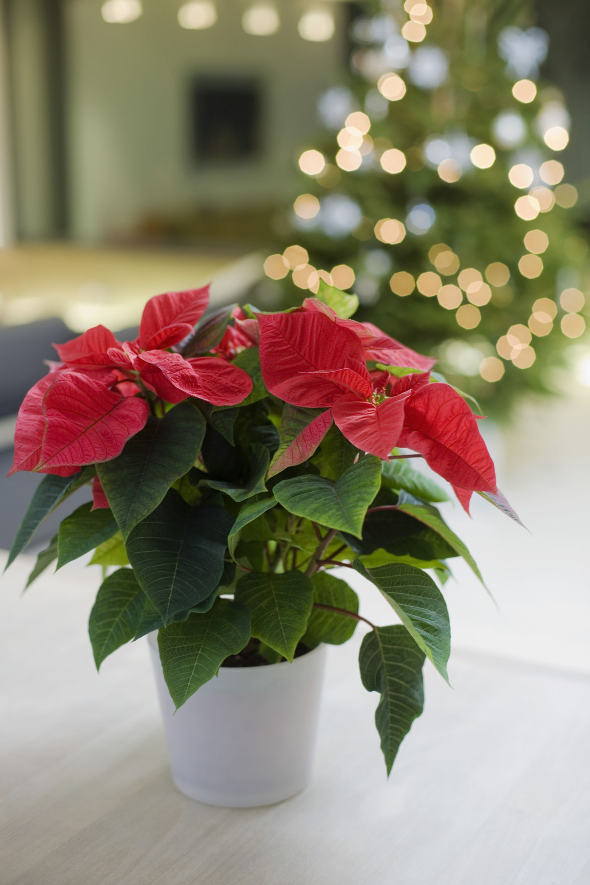 Dirty Fingernails Poinsettias Need Absolute Darkness To Turn Red