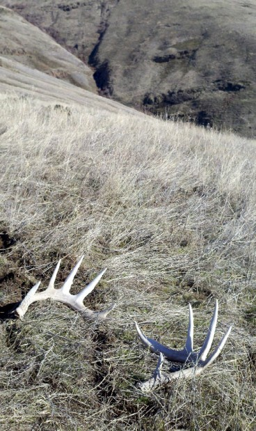 It S Shedding Season For Wildlife With Antlers Outdoors