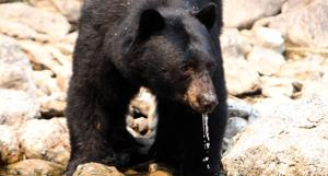 Glacier's Rising Sun campground off-limits to tents after bear break-in