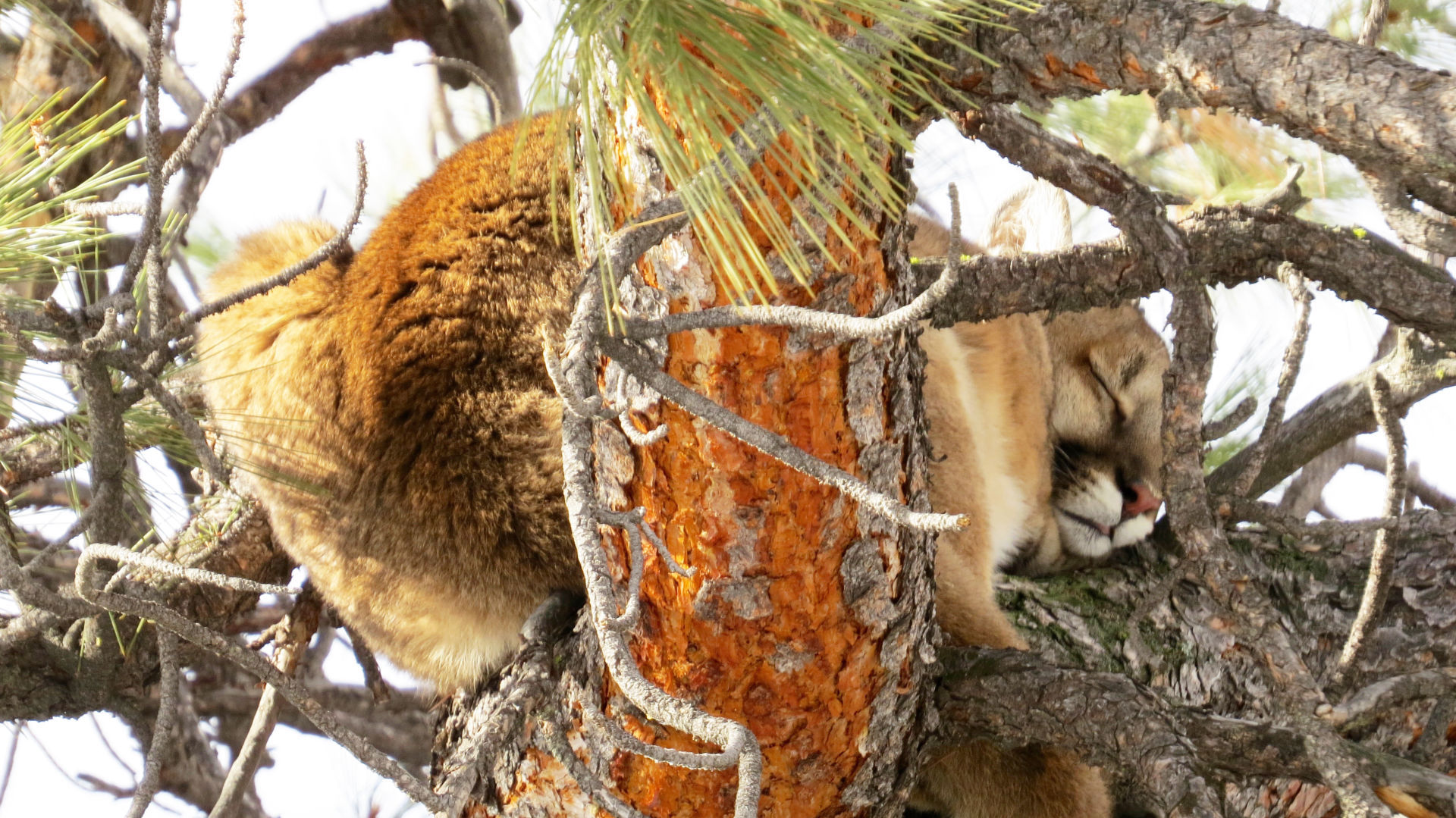 How To Find A Cougar Locally