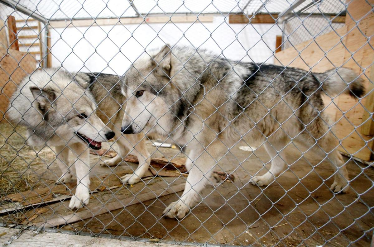 Red Lodge wolves