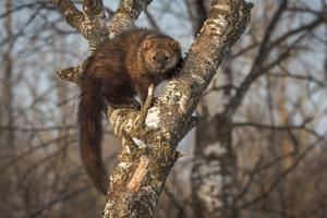 Trapping ban urged for cat-sized forest predators in Montana