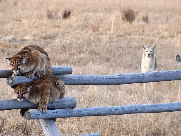 Two young mountain lions