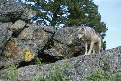 IWFF wolf