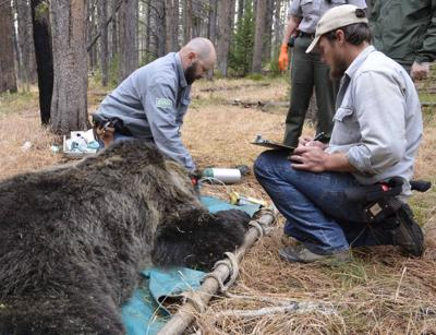 yellowstone grizzly capture