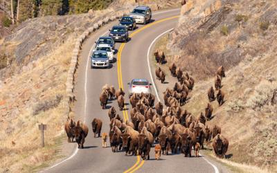Yellowstone survey: Crowding doesn't bother first-timers