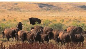 BLM takes next step in analyzing American Prairie Reserve's bison grazing requests