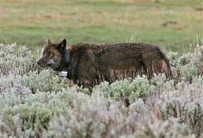 radio-collard wolf stockimage