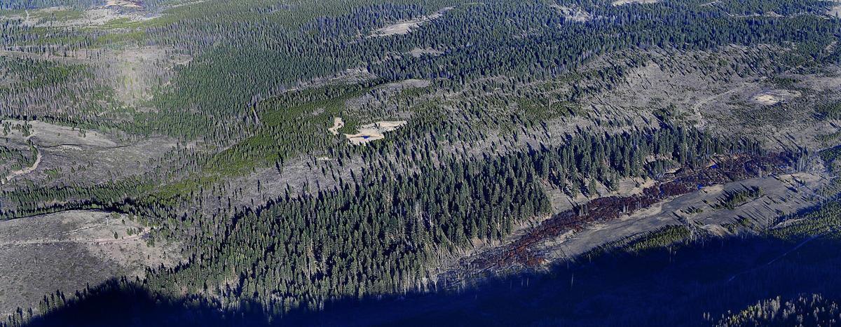 Ponderosa pines along Gold Creek