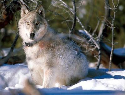 gray wolf stockimage