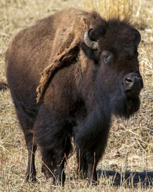 Yellowstone bison migration minimal; hunter kills down, trapping paused