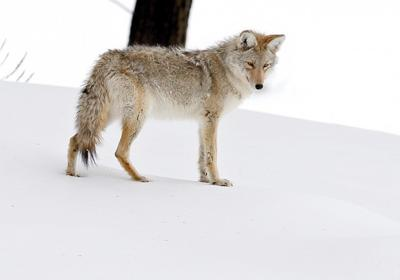 A coyote listens for prey