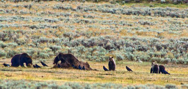 Yellowstone Park bison, grizzlies