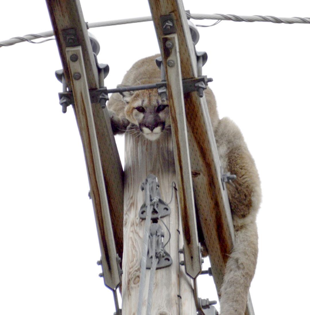 040916 mountain lion handout.jpg