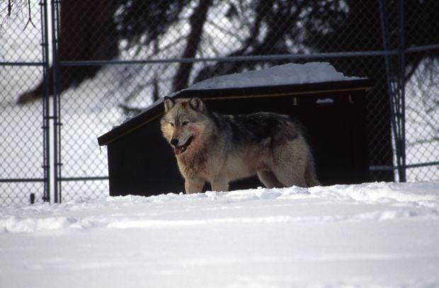 Rose Creek wolf