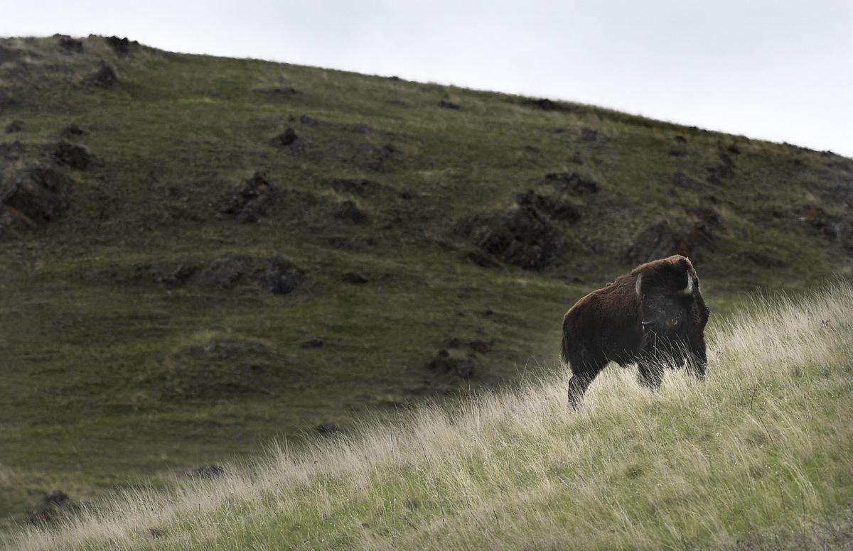 041617 bison-1-tm.jpg