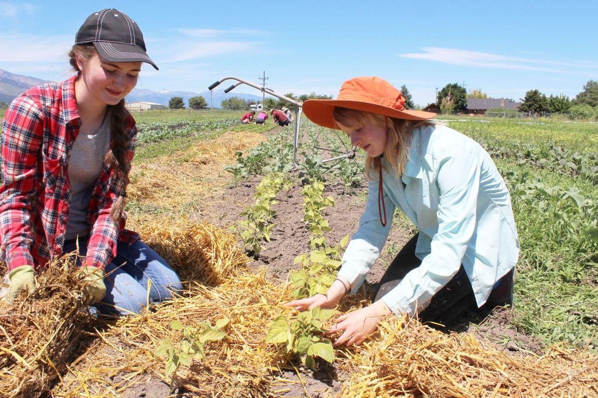 Helping hands: Bitterroot Valley youth join in partnerships at Homestead Organics Farm